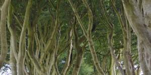 Dark Hedges in Nordirland