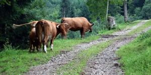 Kühe im Weg