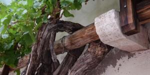Älteste Weinrebe in Südtirol