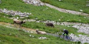 Mountainbiker trifft Kuh