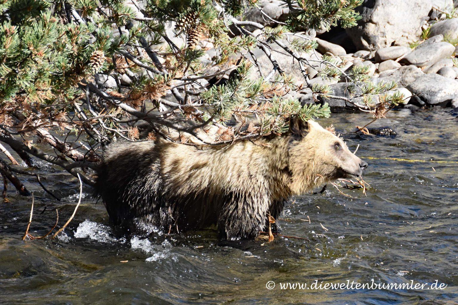 Der Bär kratzt sich am Baum