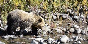 Meine Begegnung mit einem Grizzlybären