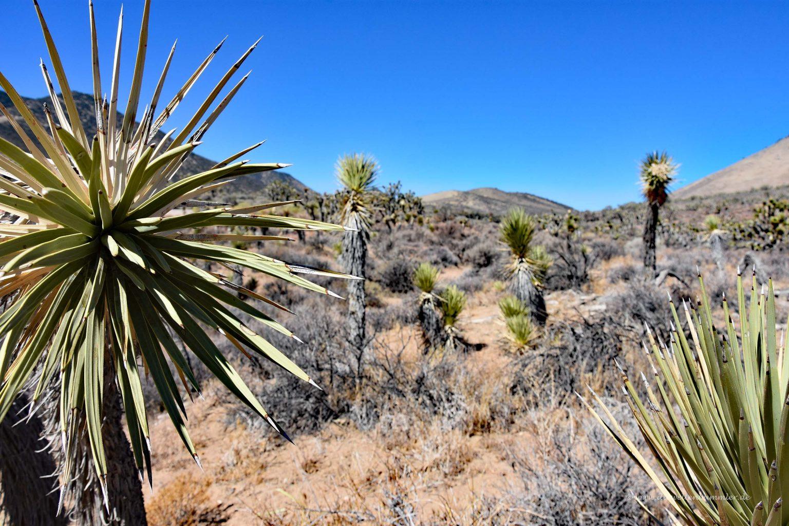 Joshua-Bäume in der Wüste