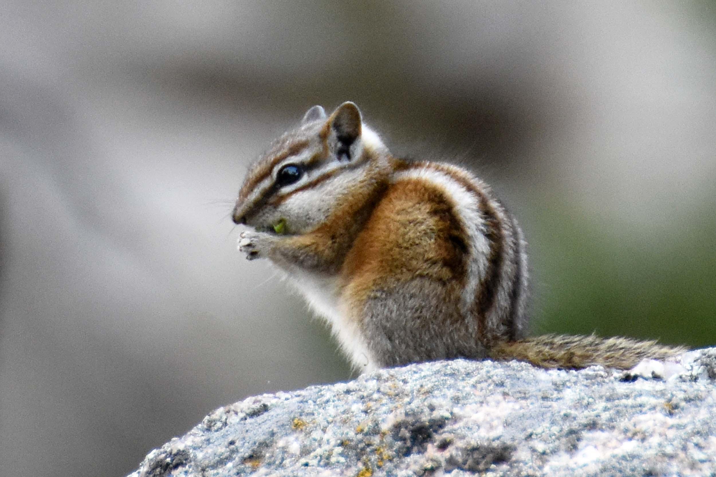 Chipmunk am Mount Rushmore