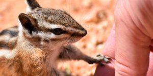 Chipmunks in amerikanischen Nationalparks