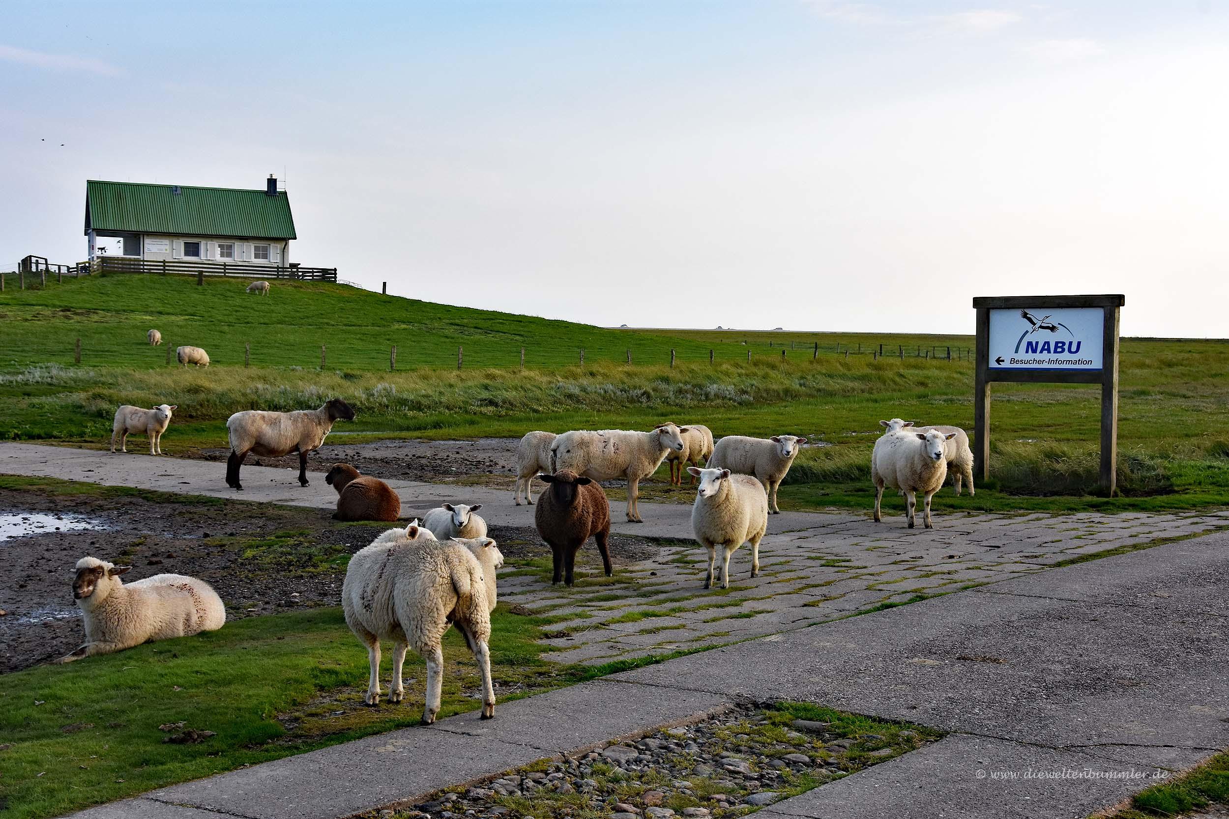 Schafe auf der Hallig