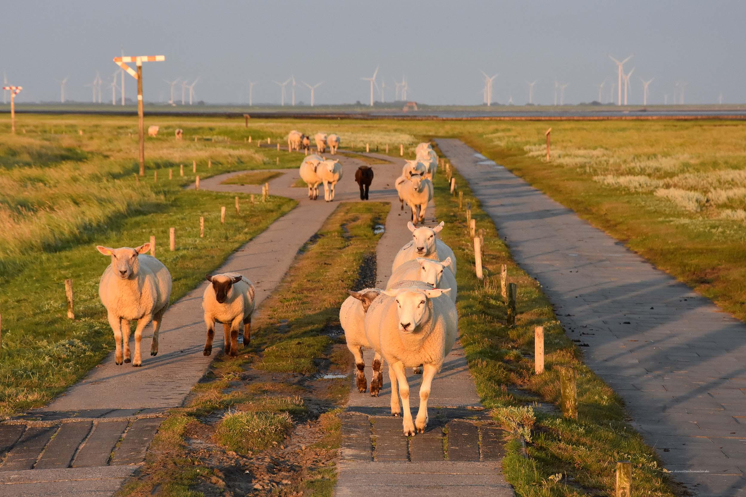 Schafe auf dem Weg zur Hallig