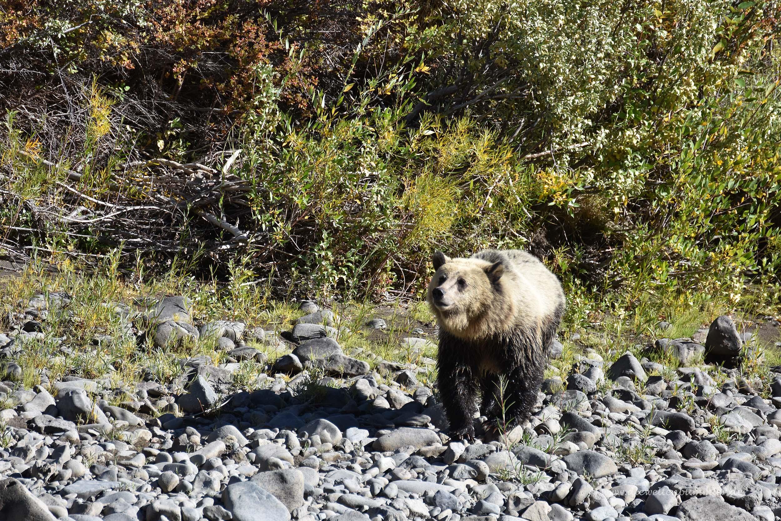 Grizzlybär am Yellowstone Nationalpark