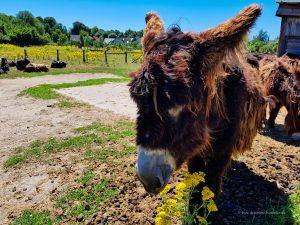 Poitou-Esel in Olfen