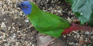 Papageienamadine