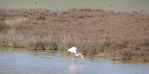 Flamingo in der Camargue