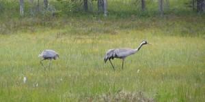 Vogelwelt Lapplands