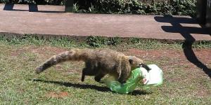 Nasenbären bestehlen die Touristen