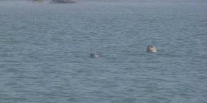 schwimmende Seehunde