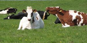 Kühe am Deich