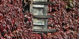 Wilder Wein an der Hausfassade