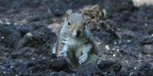 Grauhörnchen im Londoner Park