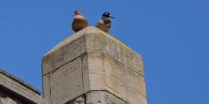 Enten auf dem Tower