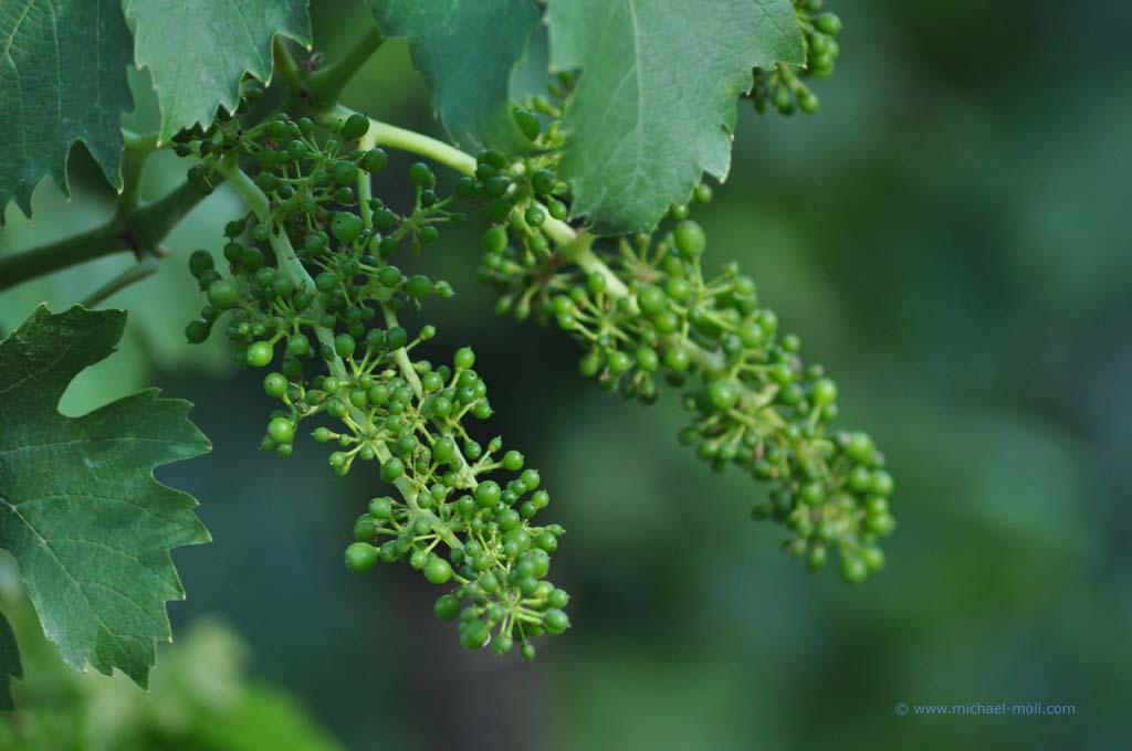Noch junge Weintrauben