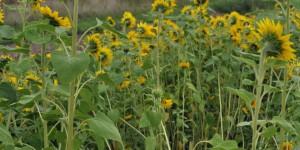 Sonnenblumen auf Niederwerth