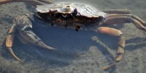 Lebende Krabbe
