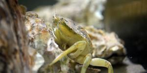 Krebs im Aquarium