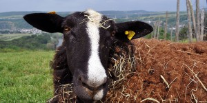 Schaf vor dem Tal der Sauer
