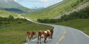 Kühe auf der Landstraße