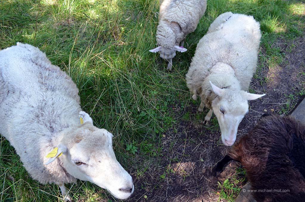 Schafe auf dem Wanderweg