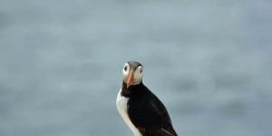 Papageitaucher auf Farne Islands