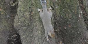 Grauhörnchen im St. James park