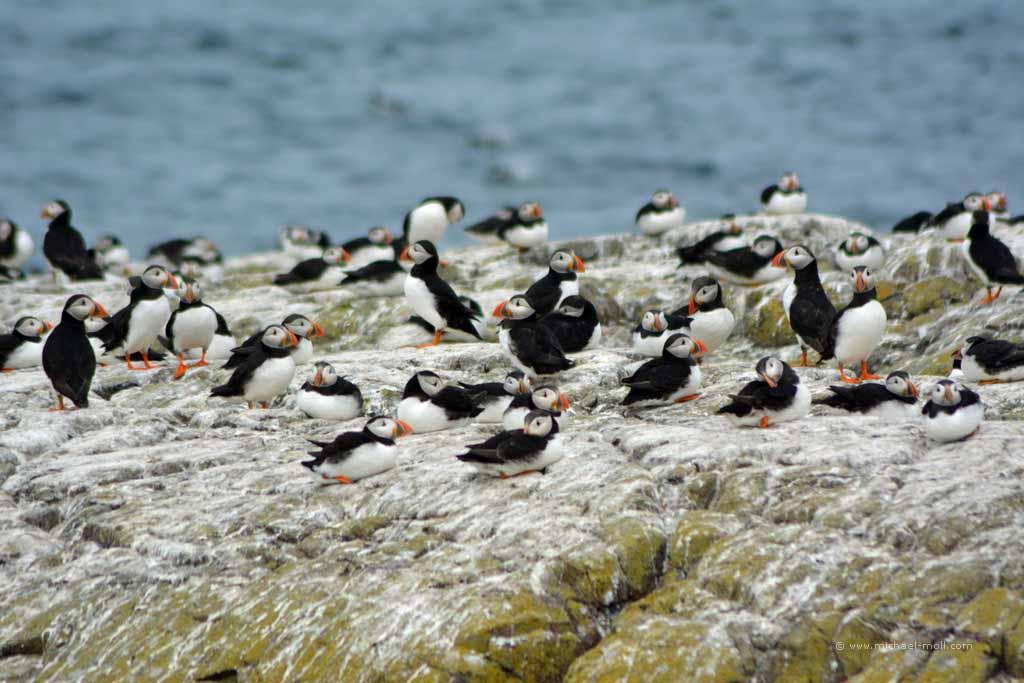 Vogelkolonie auf Farne Islands
