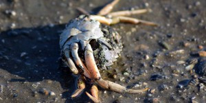 Tote Krabbe