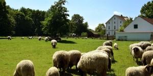 Schafe im Gut Königsmühle