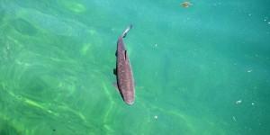 Fisch im Zeller See