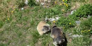 Murmeltiere am Großglockner