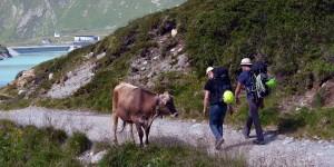 Manchmal stehen Kühe auf dem Wanderweg