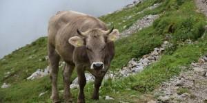 Kuh auf dem Wanderweg