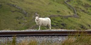 Schaf an der Bahntrasse