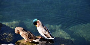 Enten am Seeufer