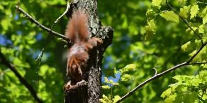 Eichhörnchen kopfüber