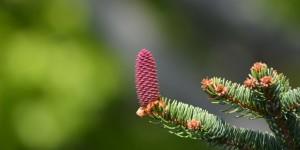 Blüte einer Rotfichte