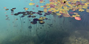 Seerosen auf dem Bleder See