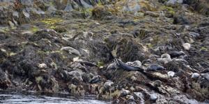 Seehunde auf Kitterland