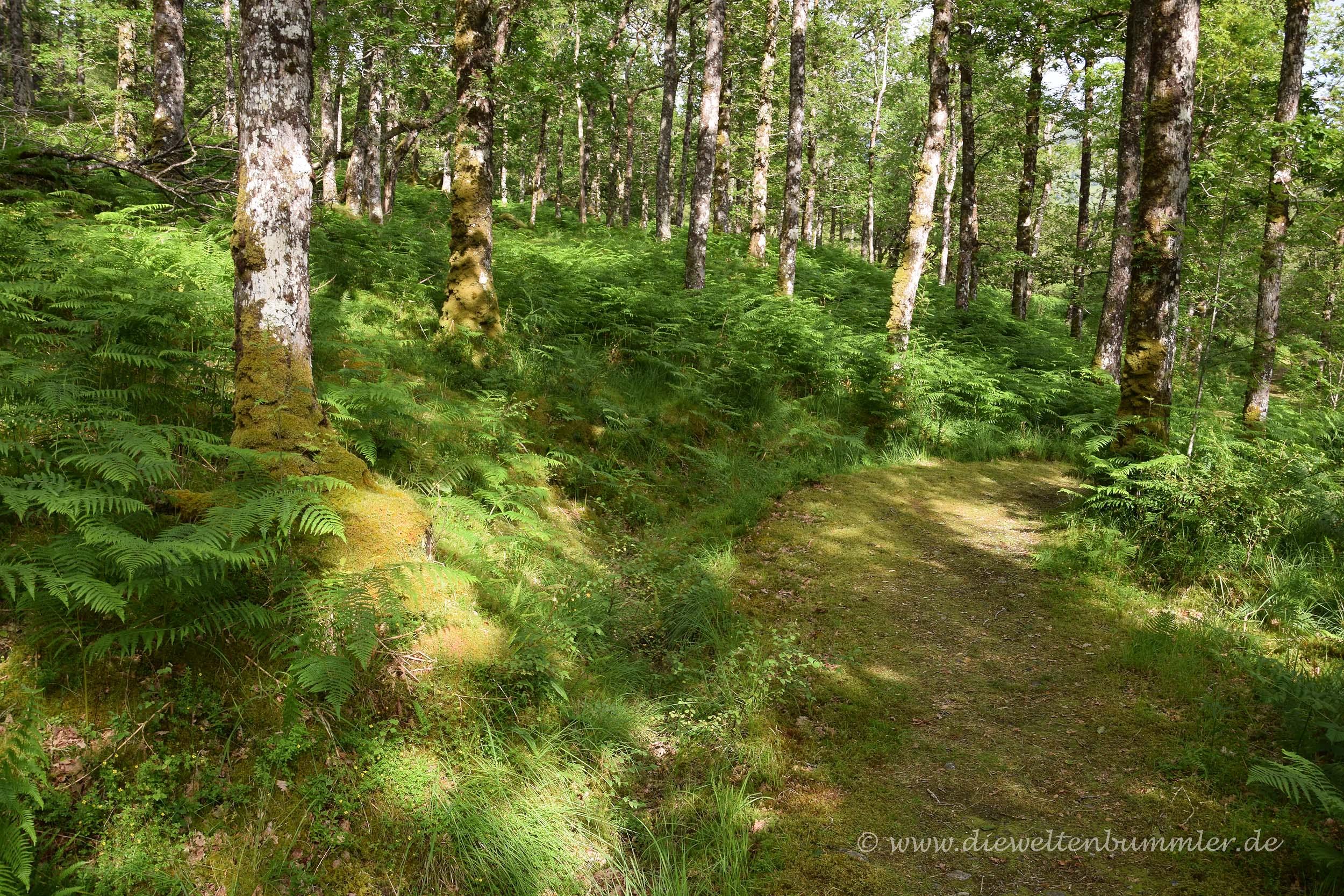 Wanderweg im schottischen Wald