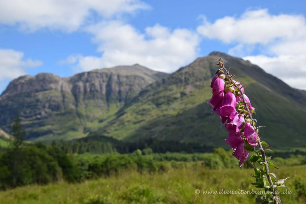 Roter Fingerhut in Schottland