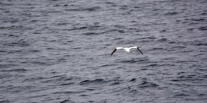 Basstölpel in der Irischen See