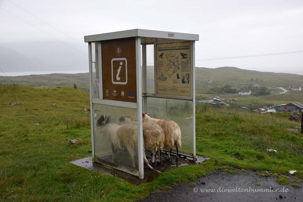 Schafe stellen sich unter
