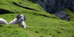 Schaf auf den Shetland Inseln