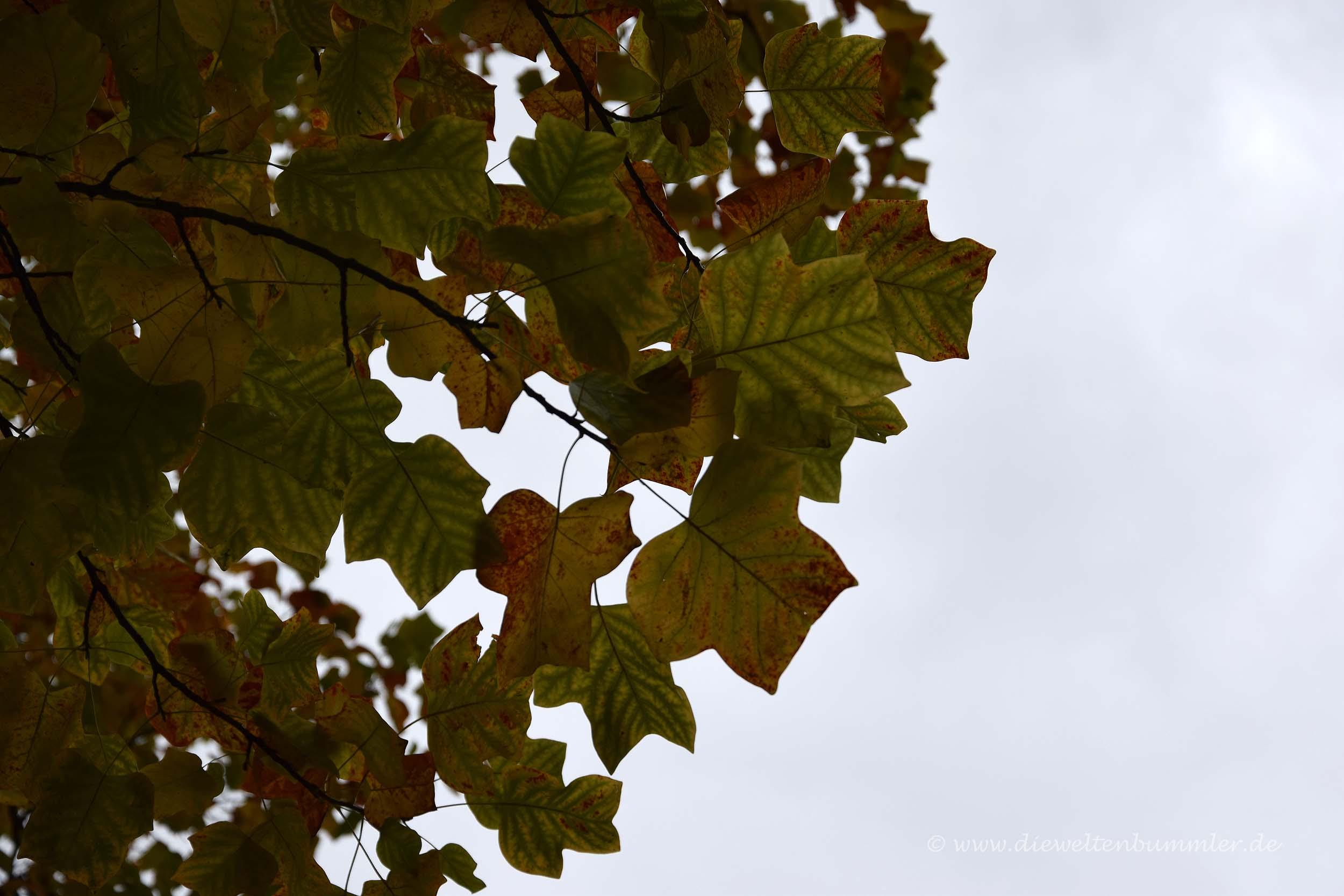 Blätter eines Tulpenbaums
